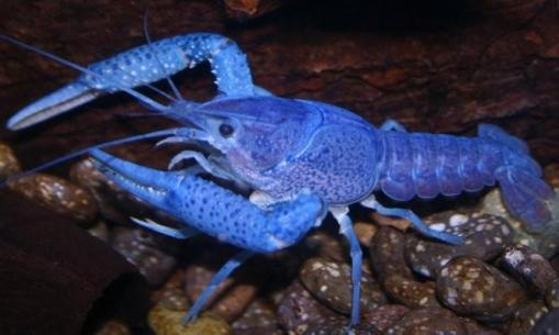 electric-blue-alleni-crayfish__33736_zoom