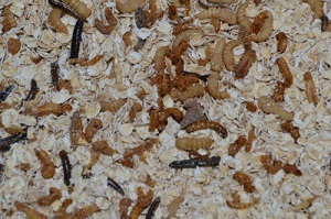 mealworms20use20jpg