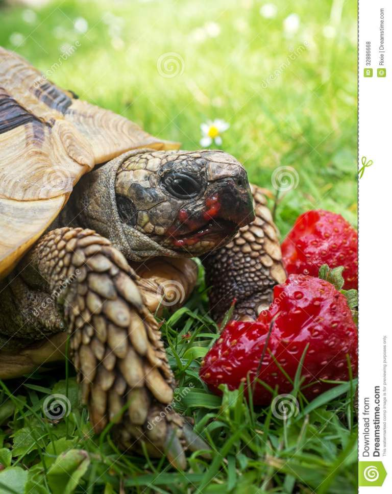 tortoise-eating-strawberries-ripe-closeup-32886668